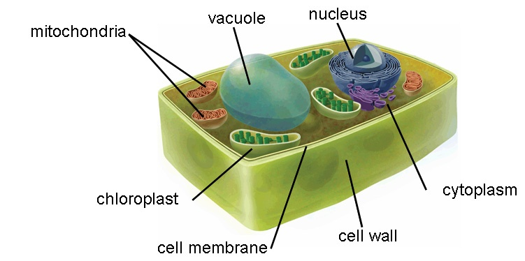 Pics Photos - Plant Cell Diagram Labeled Image