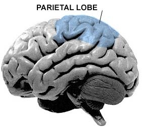 Parietal lobe celluniverse diagram of where the parietal lobe is located sourcescientopia ccuart Images