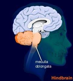 Medulla Oblongata - CellUniverse